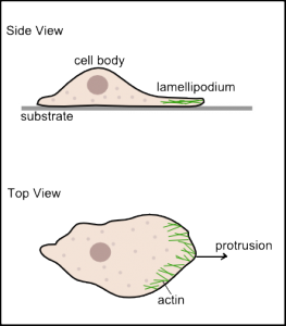 Cartoon depiction of a polarized cell crawling on a substrate.